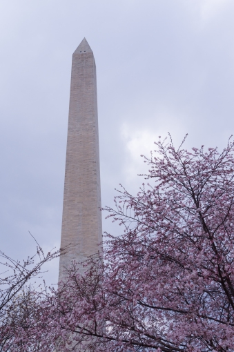 Washington Monument with cherry blossom tree in the foreground